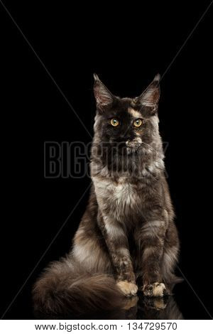 Maine Coon Cat Sitting with Furry Tail and Looking in Camera Isolated on Black Background, Front view