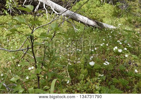 Cloudberry flowers in the North of Norway.