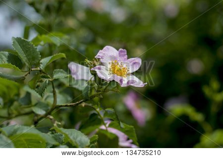 the blossoming dogrose branch with a flower a subject flowers