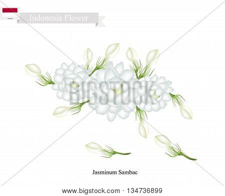 Indonesia Flower Illustration of White Jasmine Flowers. The National Flower of Indonesia.