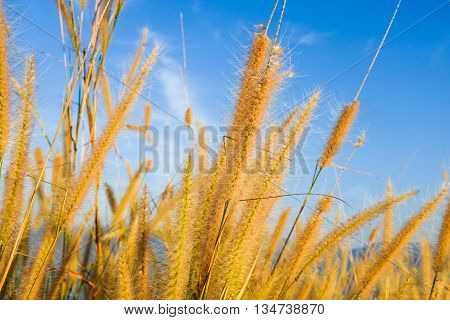 Green Grass Reed Flower On The Field With Dam And Mountain Background.