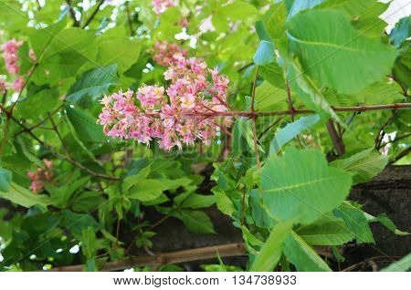 Inflorescence chestnut with small pink flowers on a background of green leaves