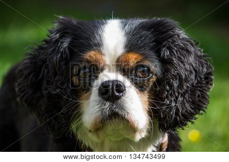 Portrait of a female tricolor Cavalier King Charles Spaniel local park Liverpool Merseyside