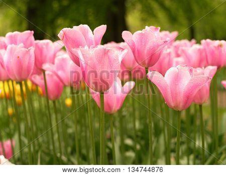 pink tulip flowers in garden green field