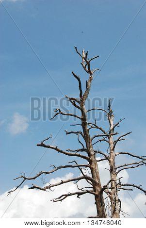 Creepy dead trees against a blue sky.