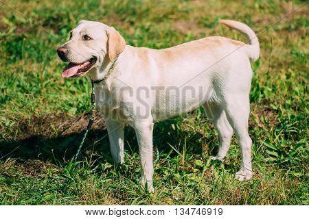 White Labrador Dog Standing On Green Grass Outdoor. Summer Season
