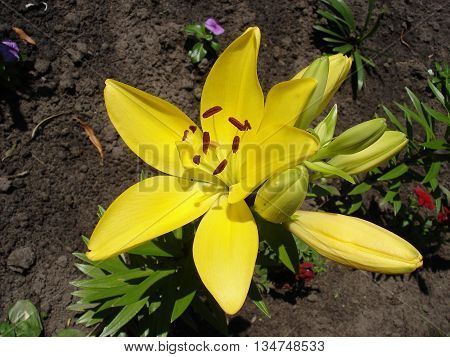 Yellow lilium buds and flower yellow day lily.