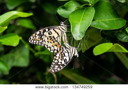 coupling and mating of butterflies, sexual reproduction of butterflies in nature