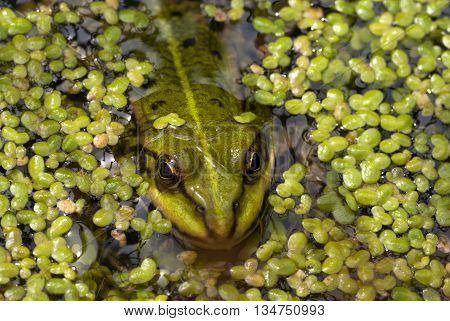 Frog puts out his head above the duckweed