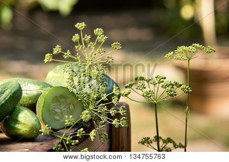 detail of cucubers and dill on the wooden crate in the garde
