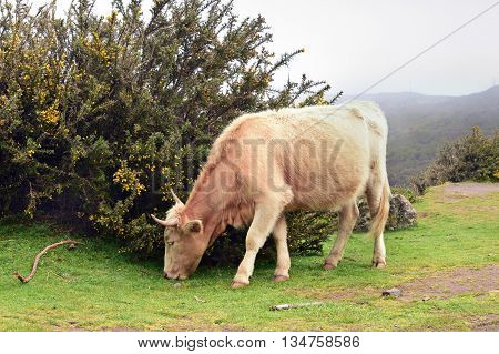 Cow is grazing in Madeira island Portugal