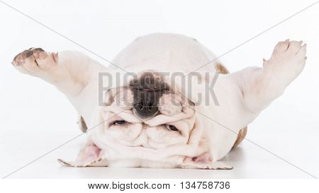 dog laying upside down looking at viewer on white background