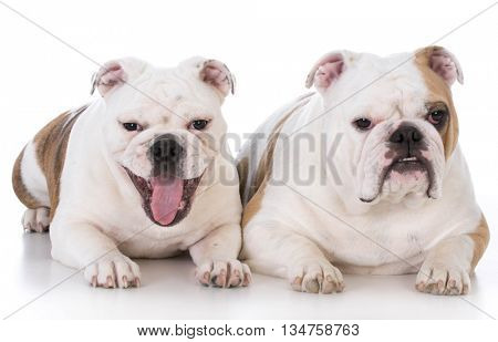 mother and daughter english bulldog sitting on white background