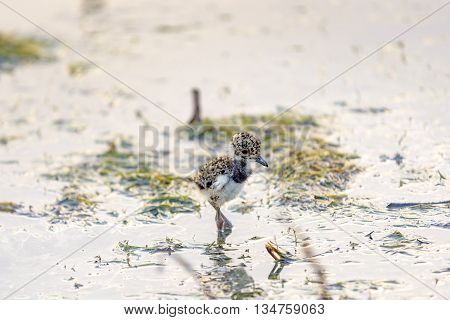 Small Southern Lapwing newly left egg walking on water