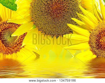 Beautiful sunflower. yellow flowers. Closeup of a beautiful sunflower in garden
