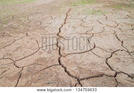 Rice Plant Growth In Cracked Mud