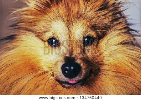 a shetland sheepdog looks into the camera