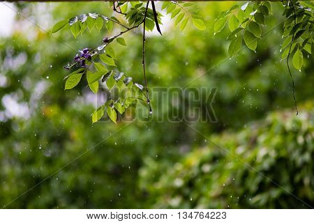 pouring Rain drops raining with green natural plants background