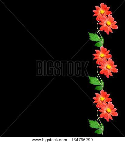 Bouquet of flowers dahlias. Flowers isolated on black background.