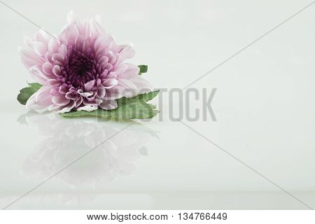 pink purple daisy flower white daisy flower on isolate background with green leaf