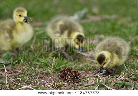 Beautiful photo with a chick of the Canada geese