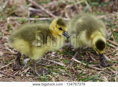 Beautiful photo with two chicks of the Canada geese going somewhere
