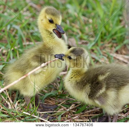 Funny beautiful isolated image with two cute chicks
