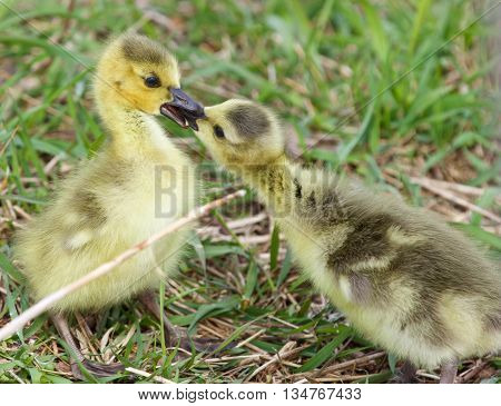 Funny beautiful photo of two young chicks of the Canada geese in love