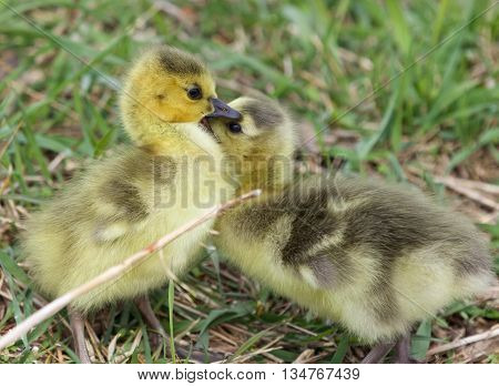 Cute chicks of the Canada geese are kissing