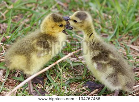 Funny image with the kissing cute young chicks of the Canada geese