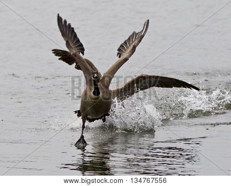 Expressive isolated picture with the Canada goose chasing his rival