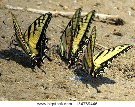 Three Eastern Tiger Swallowtail Butterflies on the banks of the Potomac River near Washington DC April 2016 USA