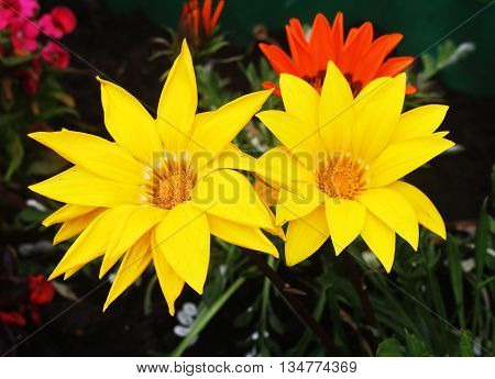 Beautiful bright gazania, yellow, also known as American daisies