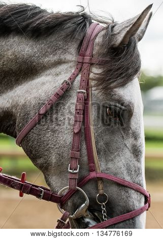 Gray Horse Profile with red worn leather bridle