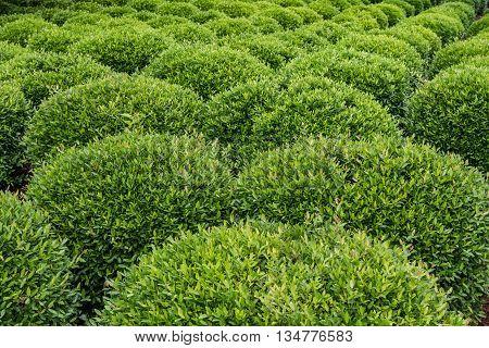 Garden of Sculpted Green Shrubs fanning out diagonally