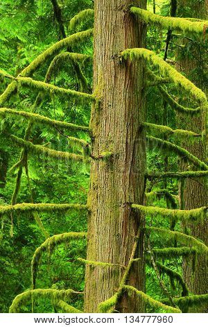 a picture of an exterior Pacific Northwest Western red cedar tree with moss