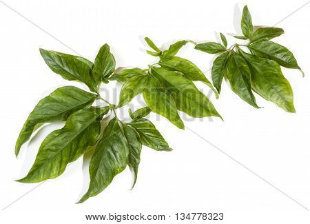 Display Of Large Decorative Leaves From Climbing Plant