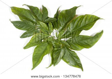 Various Hues Of Green On Large Decorative Leaves