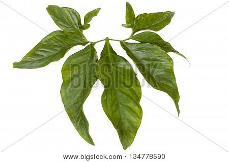 Large Shiny Decorative Leaves Attached To Green Stem