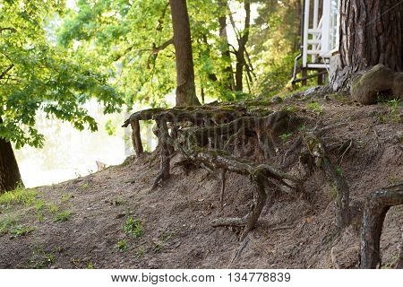 large roots of trees in-field from under earth