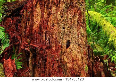 a picture of an exterior Pacific Northwest forest cedar tree stump