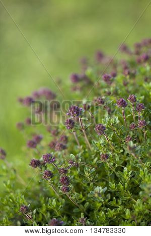 Thyme(Thymus vulgaris) plant growing in the herb garden
