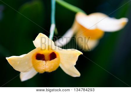 Beautiful Wild Flower Orchid,dendrobium Pulchellum.yellow Orchid On Dark Background