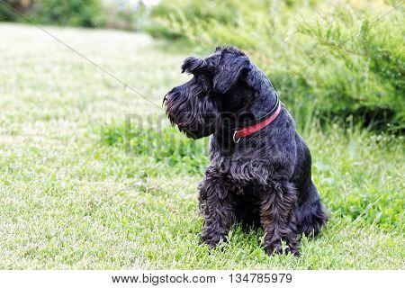 Black Dog Zwergschnauzer On The Garden