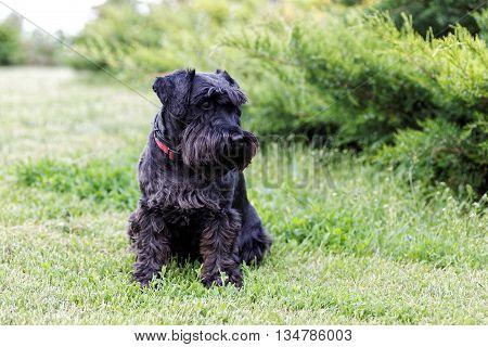 Black Dog Zwergschnauzer Sitting On The Green Grass