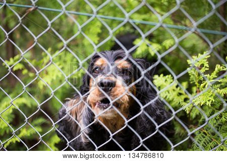 Dog barking behind the fence in garden