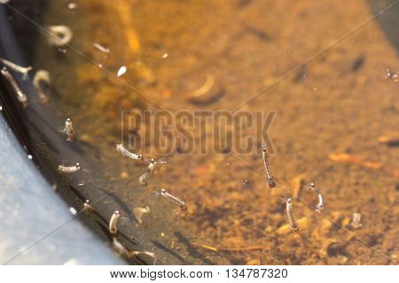 Gnats; Mosquitoes; Larvae,mosquito Larvae In Dirty Water And Young Mosquitoes With Shell Mosquitoes