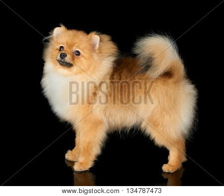 One red Pomeranian dog stands on black isolated background