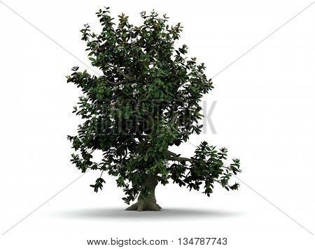 3d illustration of blooming magnolia tree isolated on white