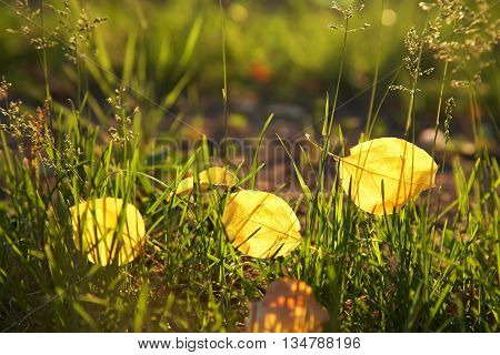 yellow fallen leaves lie on the grass. autumn nature background